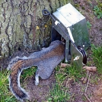 squirrel-traps